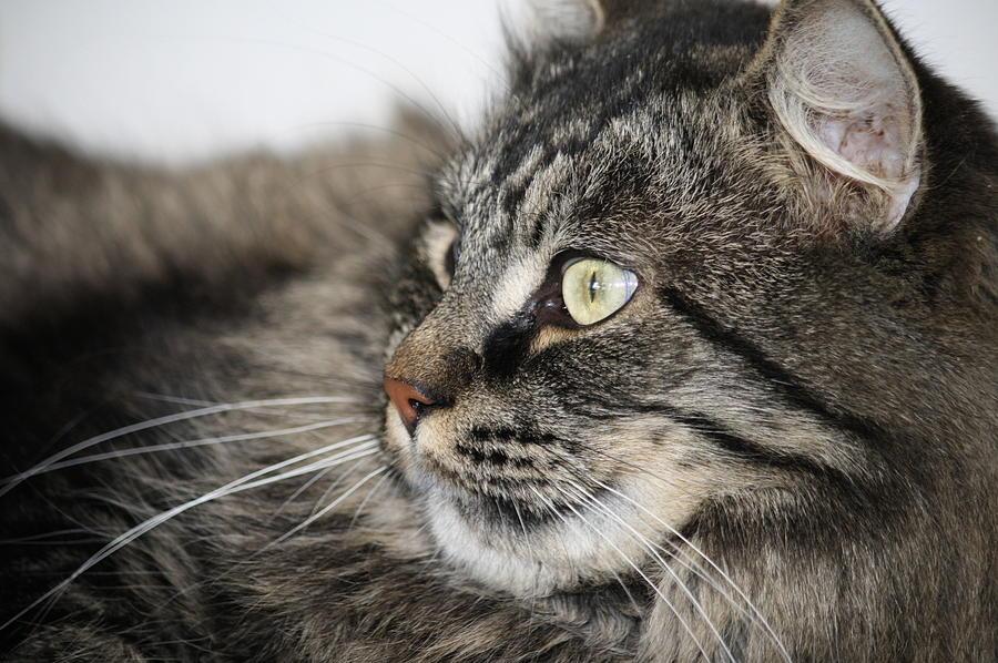 Maine Coon Cat Photograph