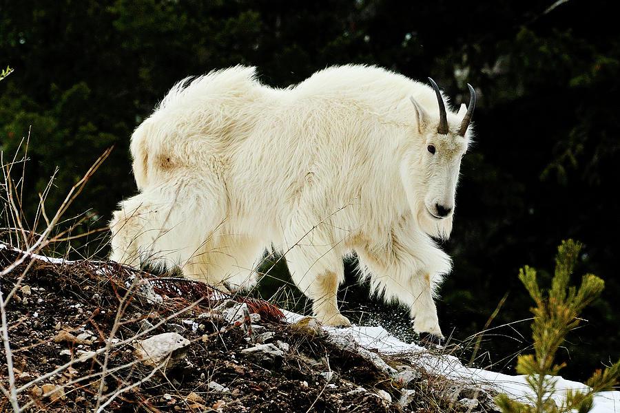 Teton mountain goat in the Snake River Canyon