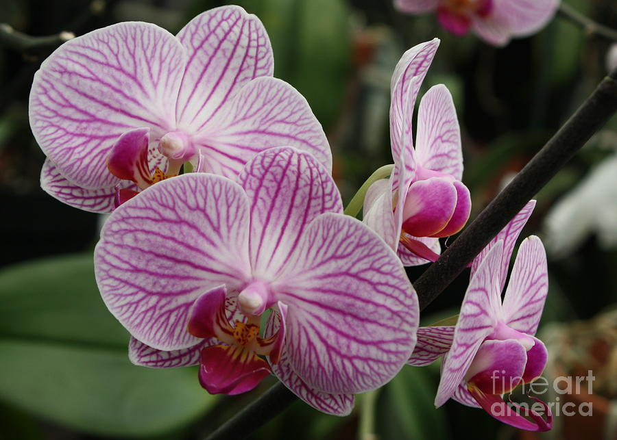 Majestic Orchids Photograph  - Majestic Orchids Fine Art Print