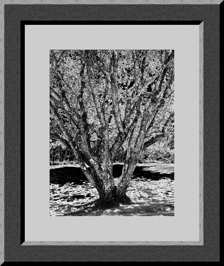 Majestic Tree  Lv Photograph  - Majestic Tree  Lv Fine Art Print