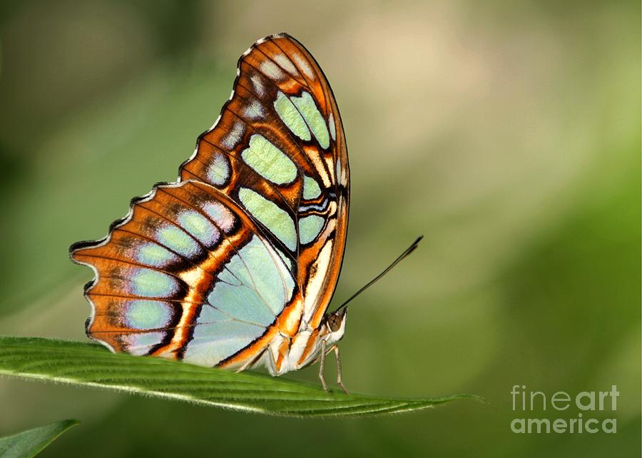 Malachite Butterfly Photograph
