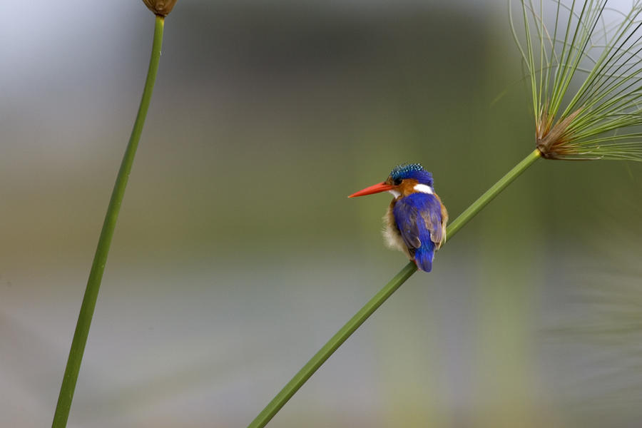 Malachite Kingfisher On A Grass Stem Photograph  - Malachite Kingfisher On A Grass Stem Fine Art Print