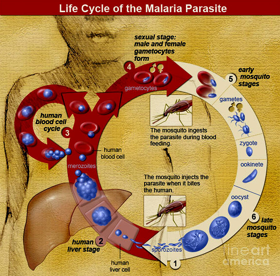 Malaria Parasite Life Cycle Photograph