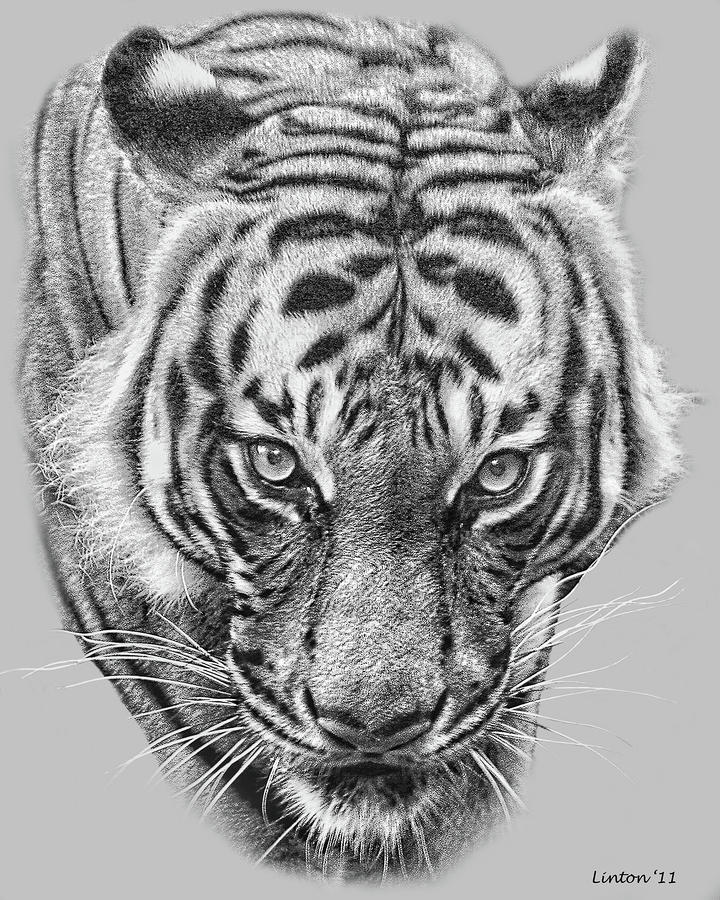 malayan tiger drawing -#main