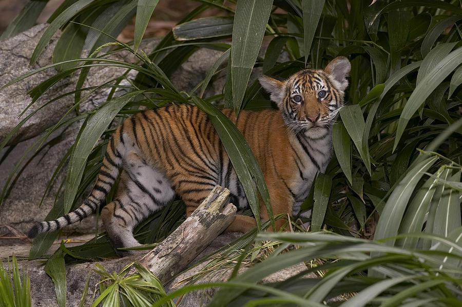Malayan Tiger Panthera Tigris Jacksoni Photograph By San