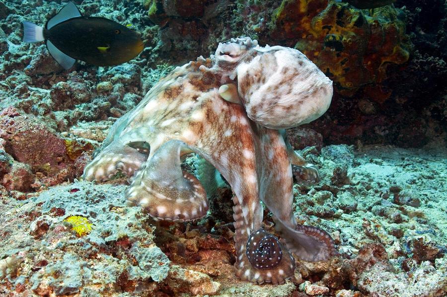 Hobotnica (Octopus cyanea) Malaysia-octopus-dave-fleetham