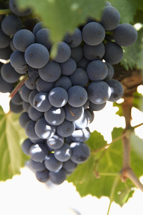Malbec Grapes On The Vine Photograph  - Malbec Grapes On The Vine Fine Art Print