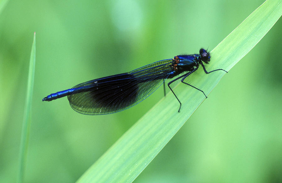 Male Banded Damselfly Photograph