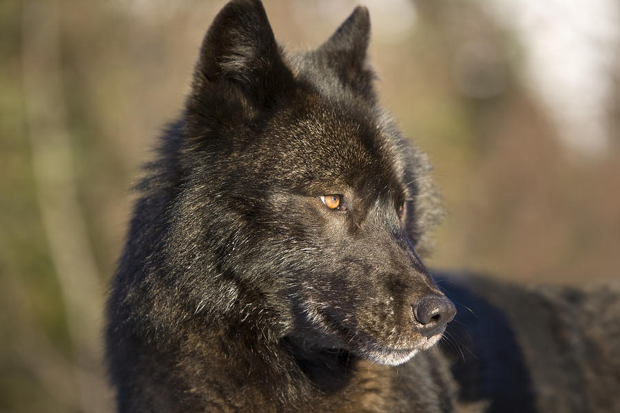 Male black wolf with yellow eyes - photo#22