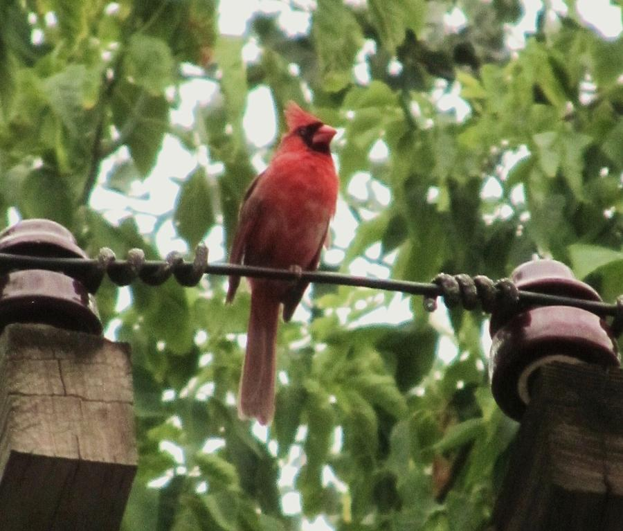 Male Cardinal Photograph - Male Cardinal One by Todd Sherlock