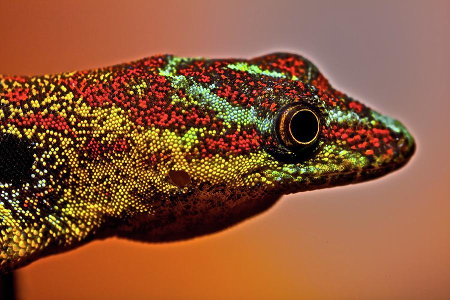 Male Gecko (gonatodes Humeralis) Photograph