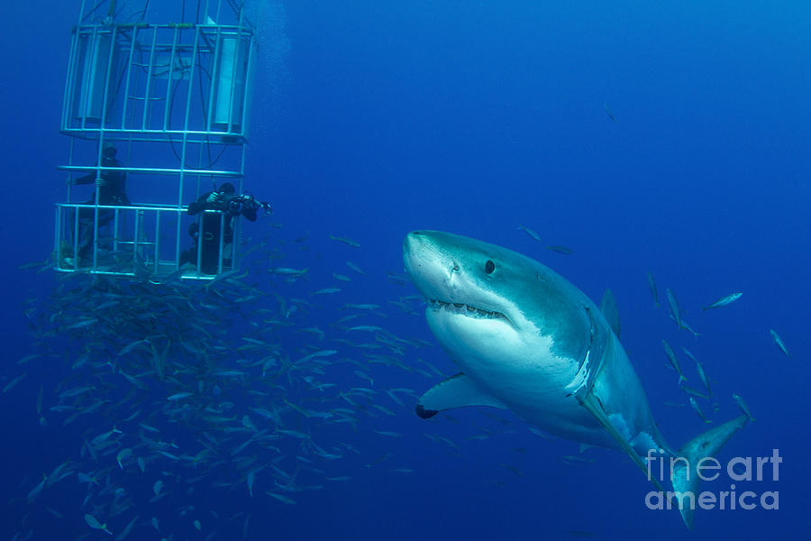 Male Great White Shark And Divers Photograph
