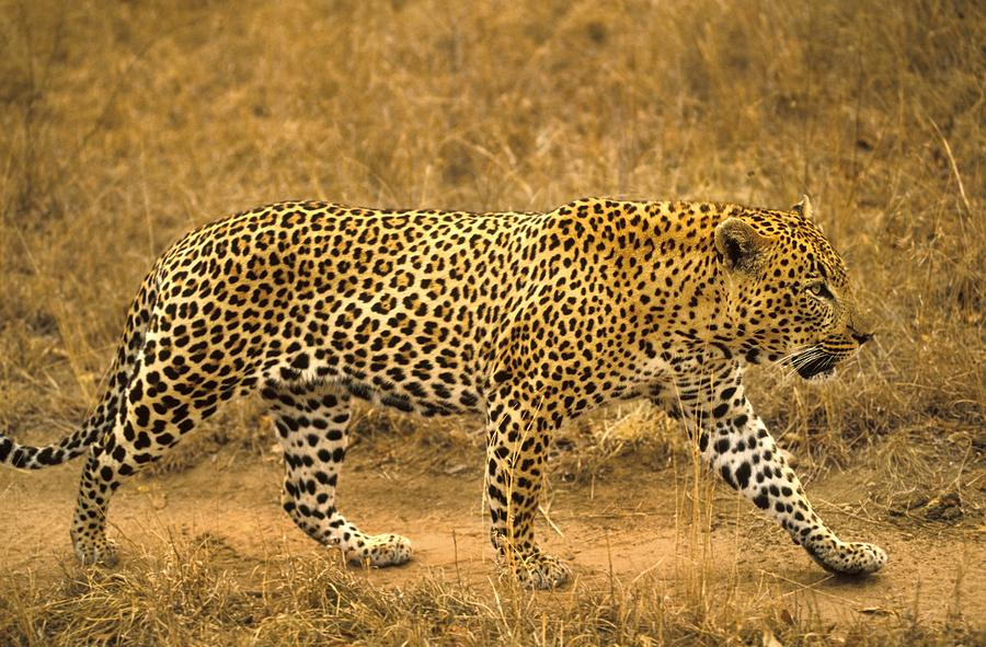 Male Leopard Photograph by John Pitcher