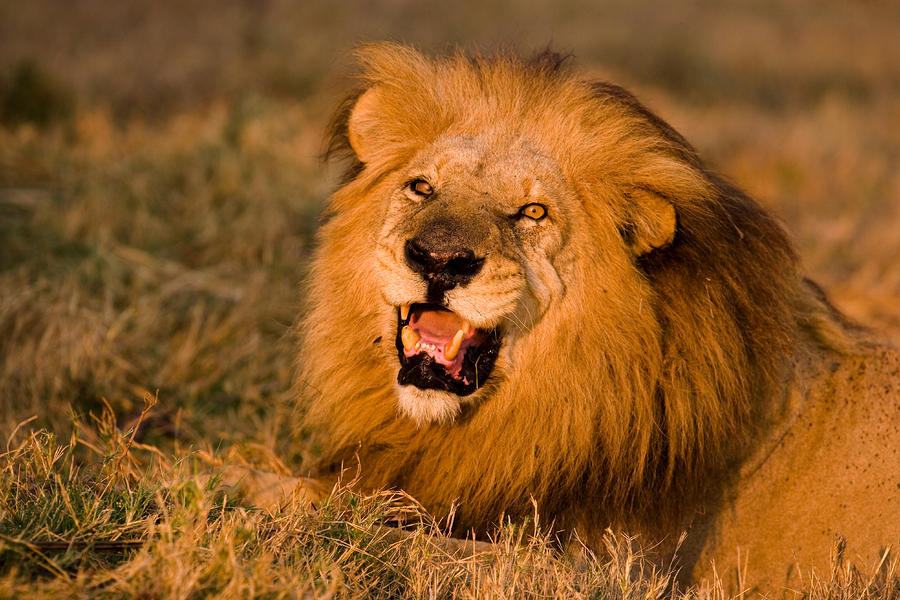 Lion In The Savannah Picture For iPhone, Blackberry, iPad, Lion In ...