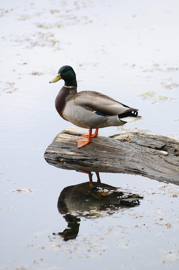 Male Mallard Duck With His Reflection Photograph