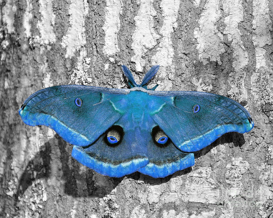 Male Moth Light Blue is a photograph by Al Powell Photography USA ...