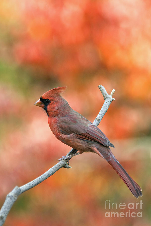 Male Northern Cardinal Cardinalis Cardinalis Redbird Red Backyard Bird Songbird Perch Twig Branch Wildlife Nature Fauna Autumn Fall Color Floyd County Indiana America American  Photograph - Male Northern Cardinal - D007810 by Daniel Dempster
