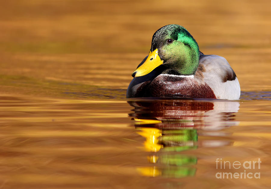 Mallard Drake In The Golden Water Photograph