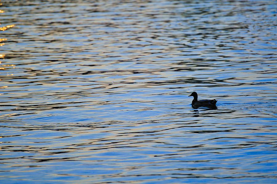 Mallard Duck And Blue Water Photograph