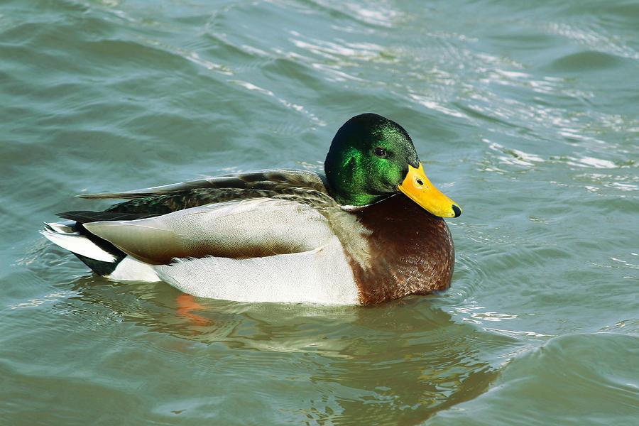 ducks swimming on the - photo #3