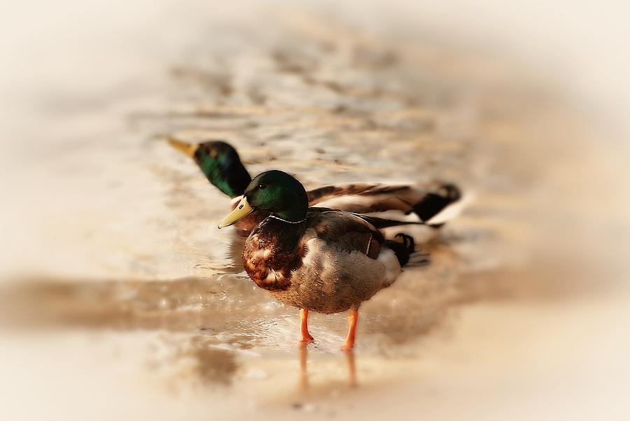 Mallard Ducks Photograph  - Mallard Ducks Fine Art Print