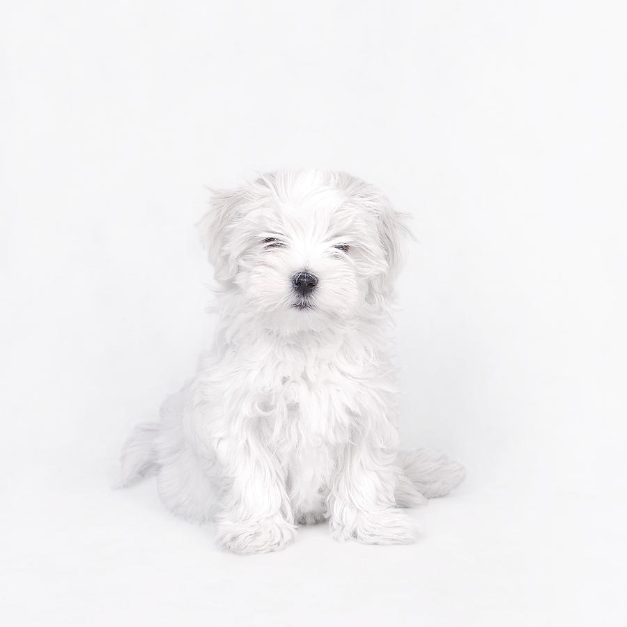 Maltese Dog Puppy Photograph  - Maltese Dog Puppy Fine Art Print