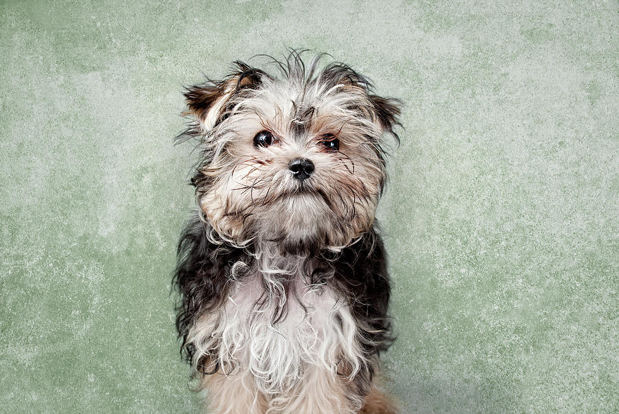 Maltese Mix On  Green Background Photograph