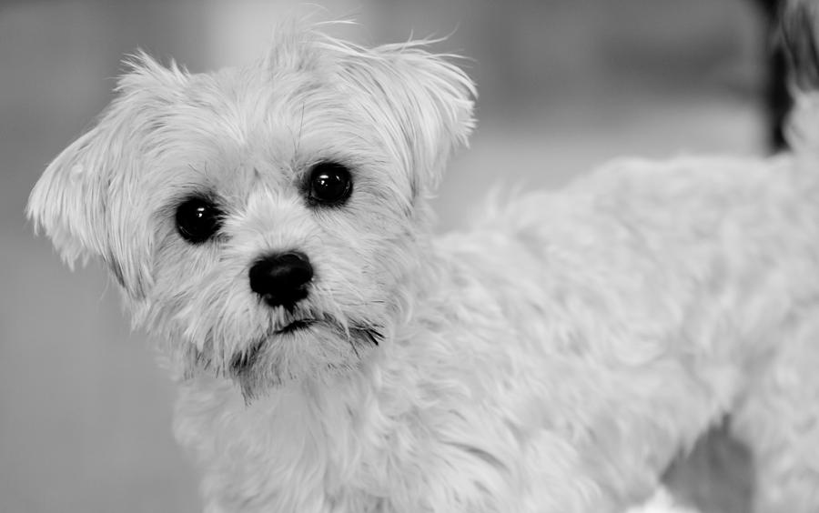 Maltese Shih Tzu Mix Black And White Images & Pictures - Becuo