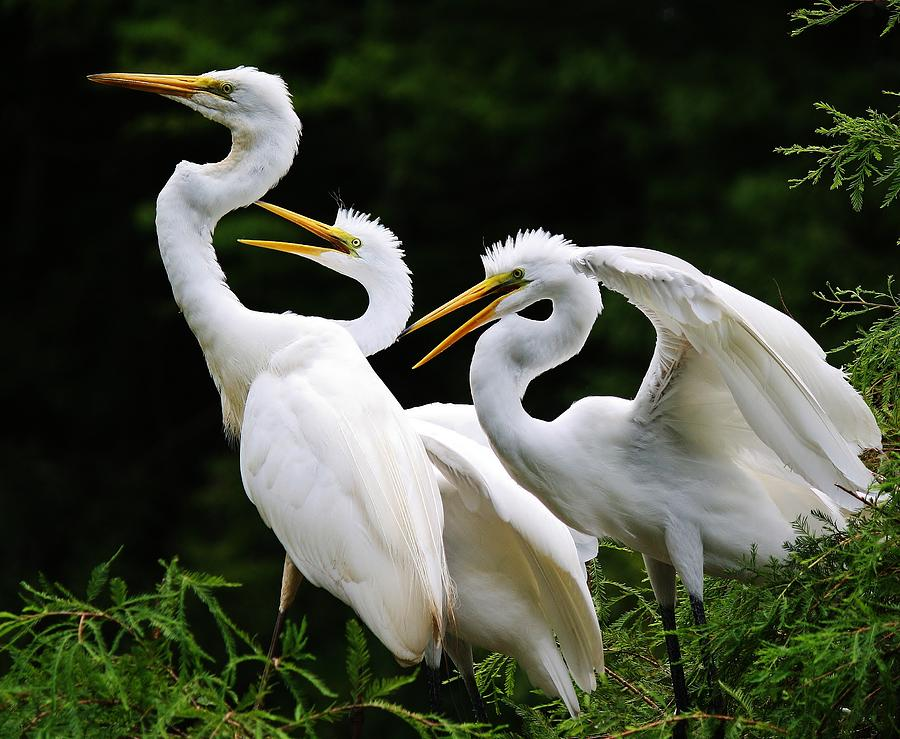 Great White Egret Photograph - Mama Egrets With Her Babies by Paulette Thomas