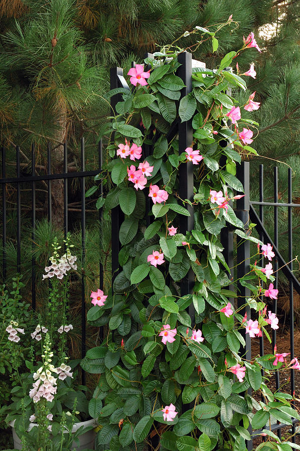 Mandevilla Vine With Pink Flowers Photograph  - Mandevilla Vine With Pink Flowers Fine Art Print