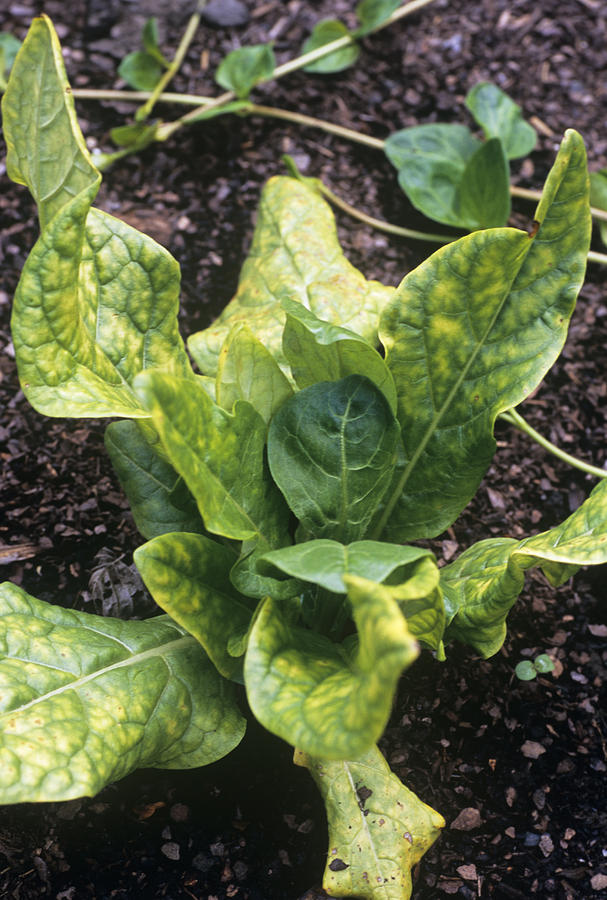 Mandrake (mandragora Officinarum) Photograph
