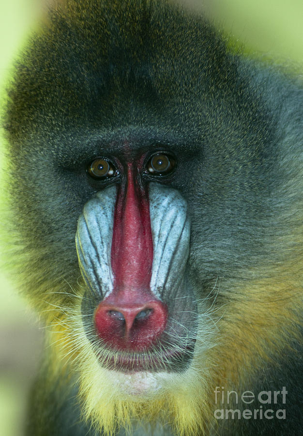 Mandrill  Photograph  - Mandrill  Fine Art Print