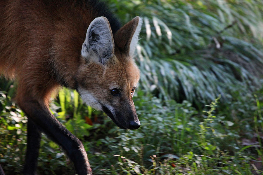 Maned Wolf Photograph