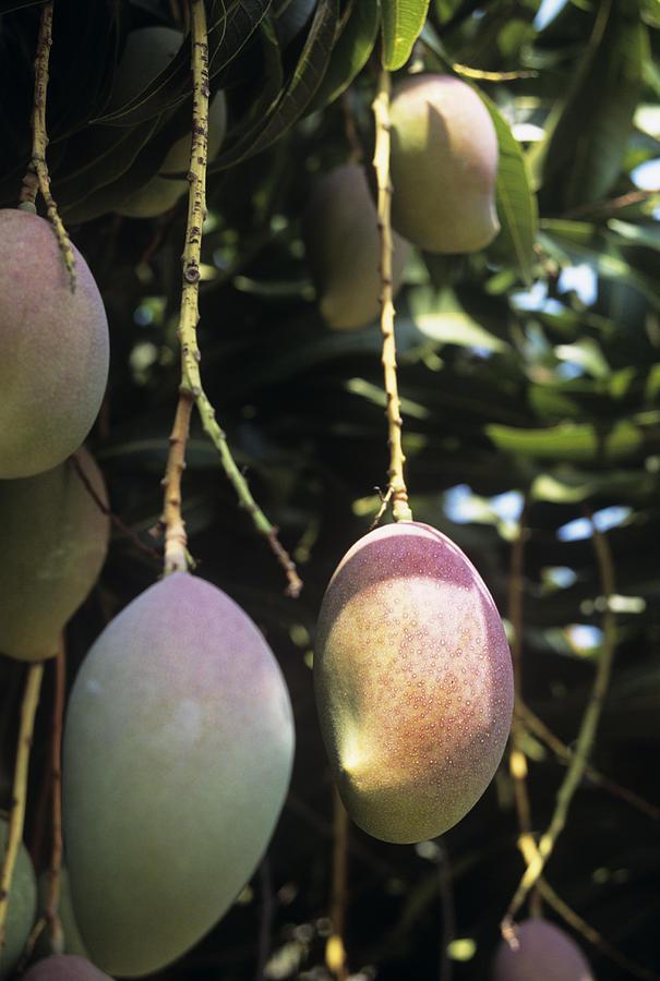 Mango Fruit Photograph