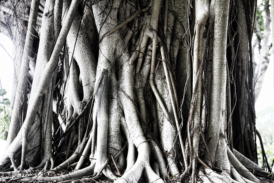 Mangrove Photograph - Mangrove Tentacles  by Douglas Barnard