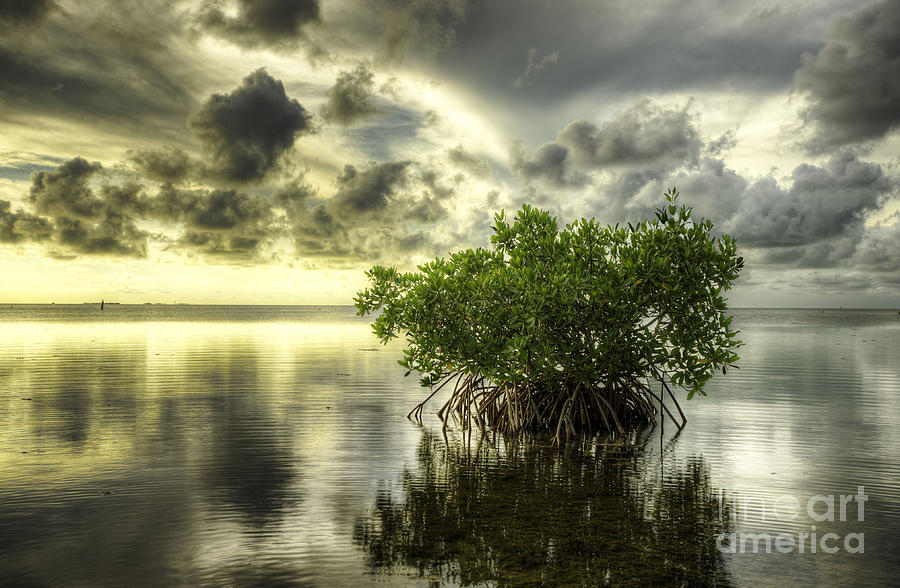Mangroves I Photograph