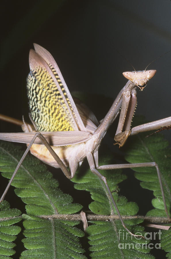 Mantid Defensive Display Photograph
