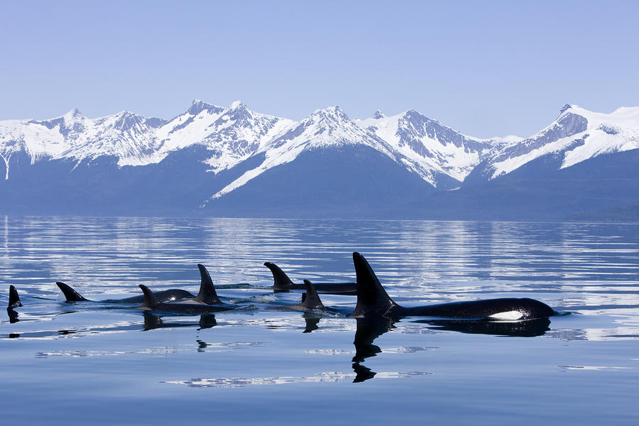 Many Orca Whales Photograph