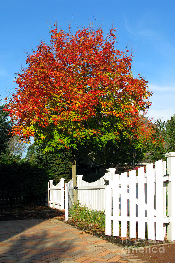 Maple And Picket Fence Photograph