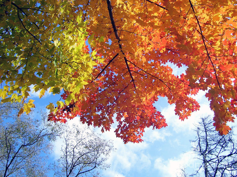 Maple In The Quebec Sky Photograph 