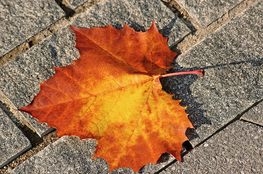 Maple Leaf In Fall Photograph  - Maple Leaf In Fall Fine Art Print