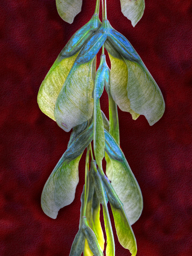 Maple Seeds Photograph  - Maple Seeds Fine Art Print