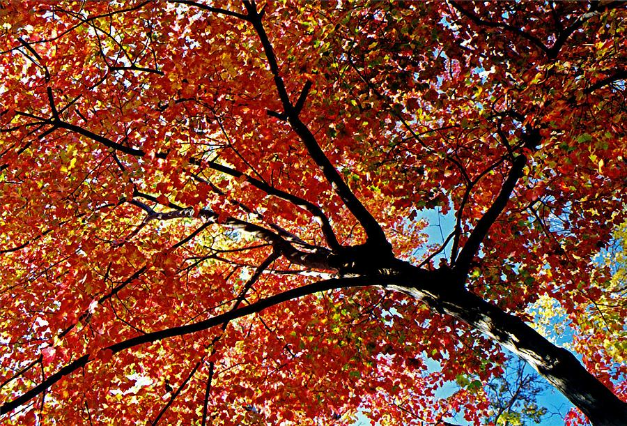 Maple Tree In Autumn Glow Photograph  - Maple Tree In Autumn Glow Fine Art Print