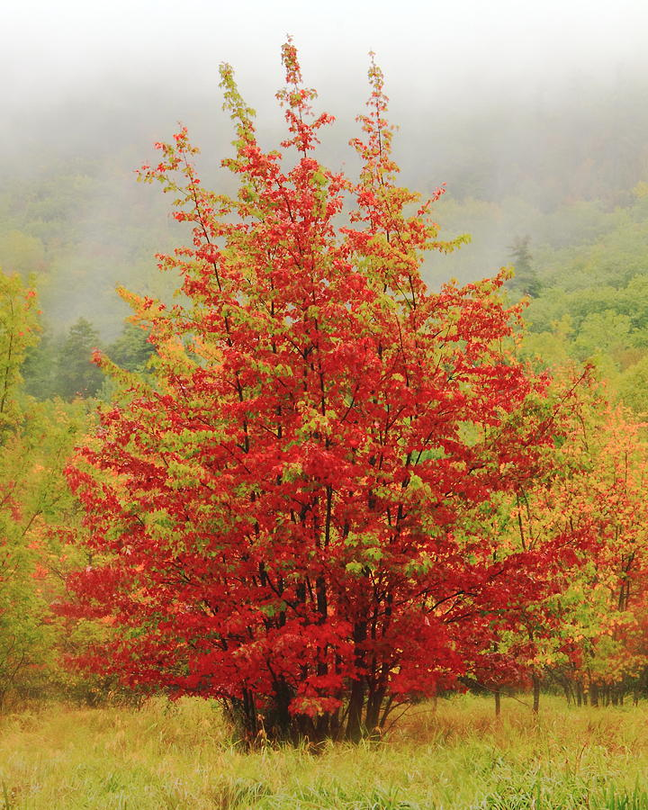 Maples Photograph - Maples In The Mist by Roupen  Baker