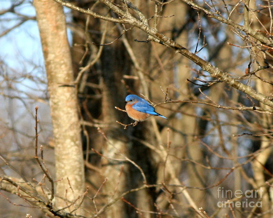 March Bluebird Photograph  - March Bluebird Fine Art Print