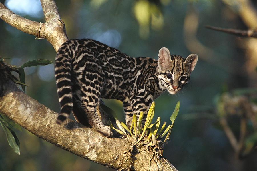 Margay Leopardus Wiedii Wild Kitten Photograph By Gerry Ellis
