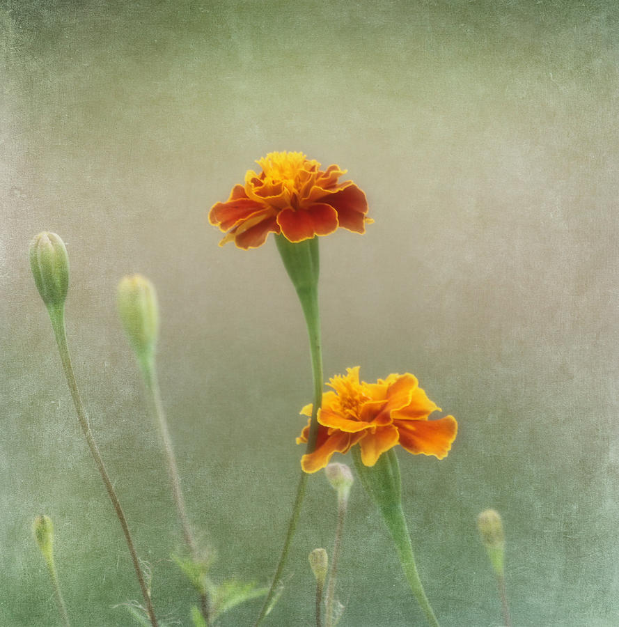 Marigold Fancy Photograph  - Marigold Fancy Fine Art Print