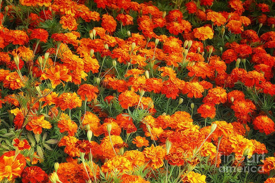 Marigold Photograph