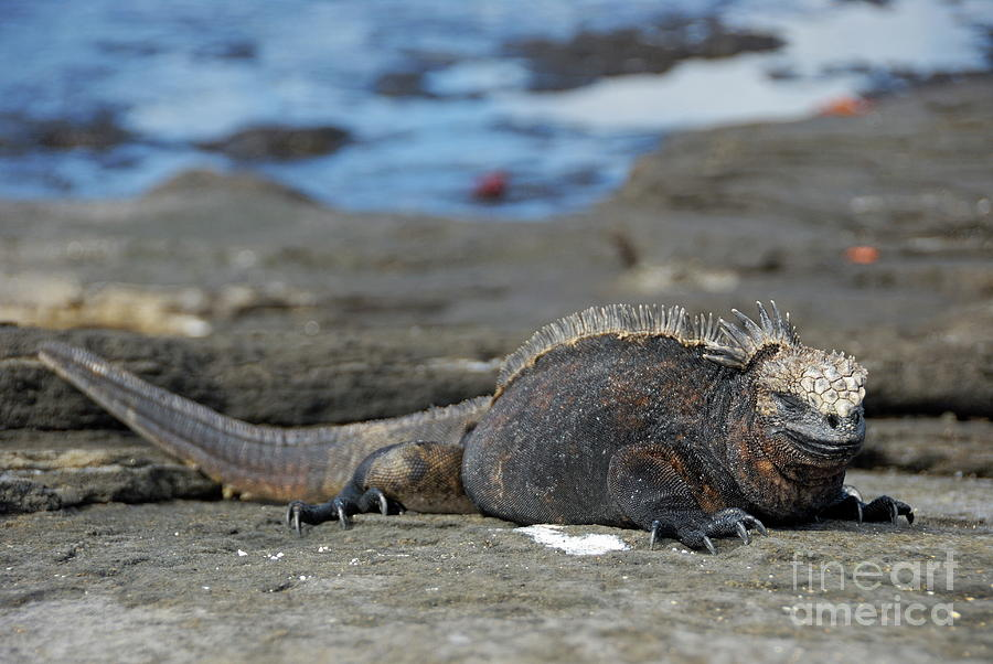 Marine Iguana Lying On Rock By Water Photograph