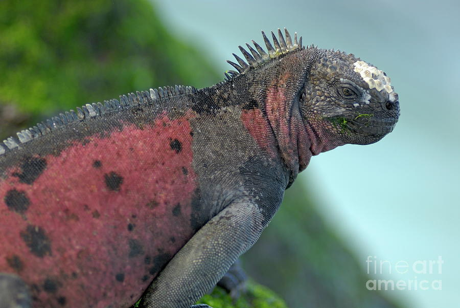 Marine Iguana On Rock Covered By Green Seaweed Photograph  - Marine Iguana On Rock Covered By Green Seaweed Fine Art Print